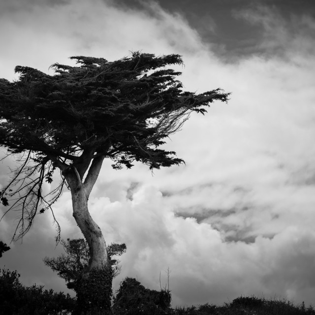 """""""Black and white Lone Tree with Cloudscape"""" stock image"""