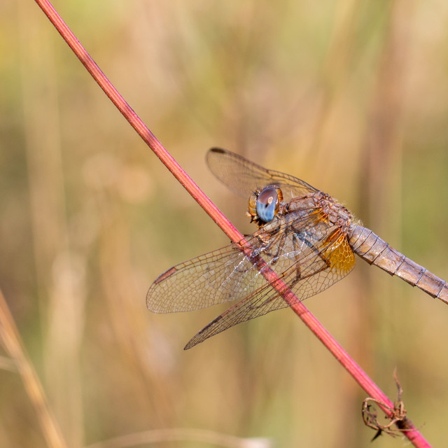 """Crocothemis erythraea elder female - Scarlet dragonfly"" stock image"