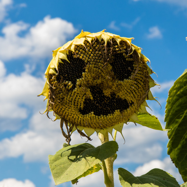 """Sunflower smiley"" stock image"