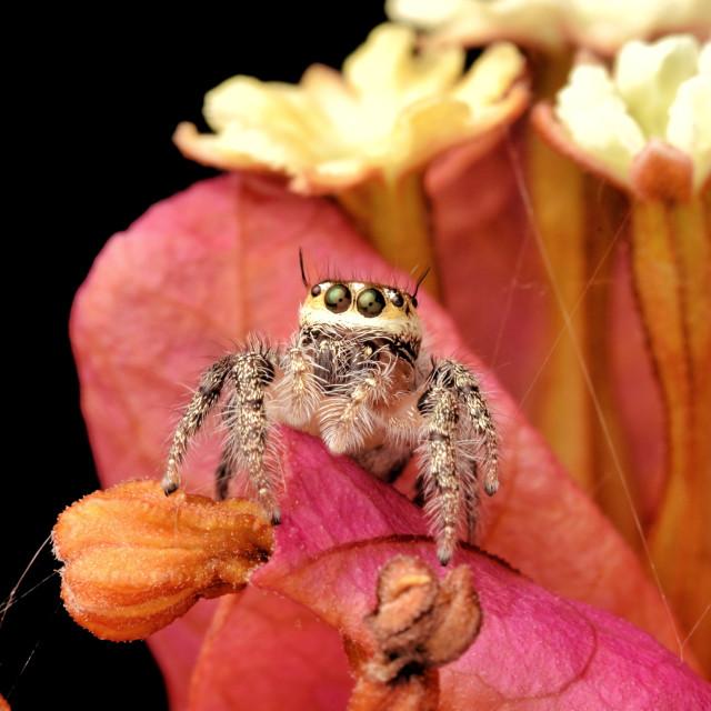 """""""Hyllus semicuprius spider"""" stock image"""