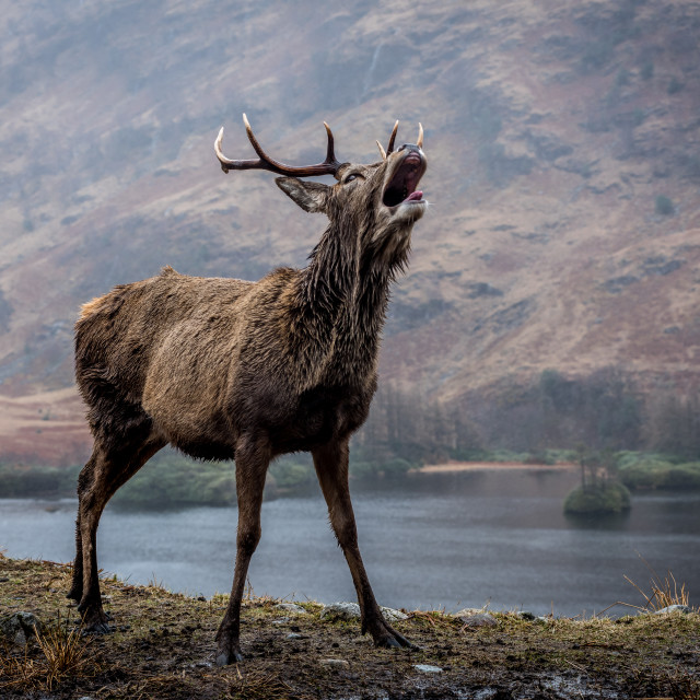 """Glen Coe Stag"" stock image"