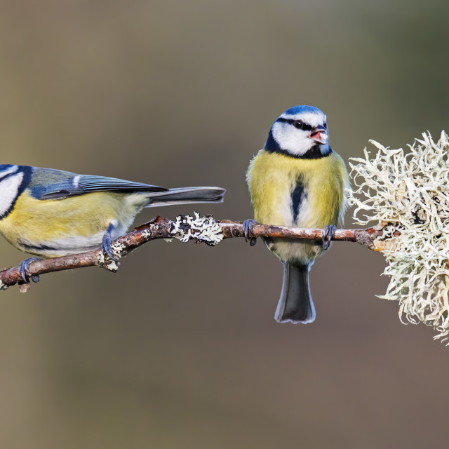 """Blue tits on a lichen-covered twig."" stock image"