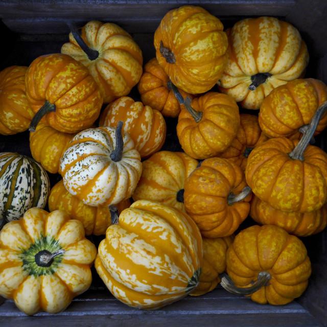 """""""Halloween Pumpkins"""" stock image"""