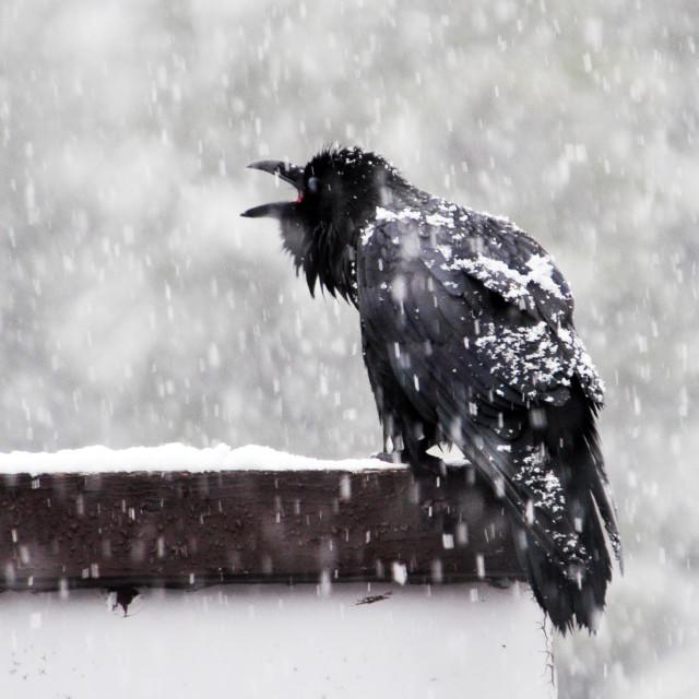 """""""Snow Raven"""" stock image"""