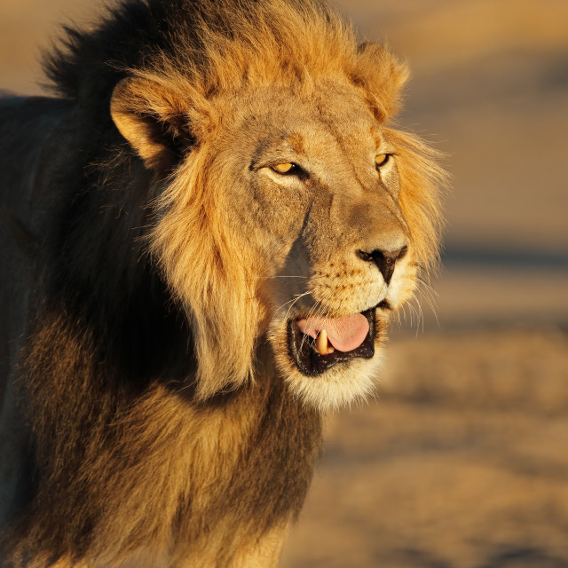 """African lion portrait - Kalahari desert"" stock image"