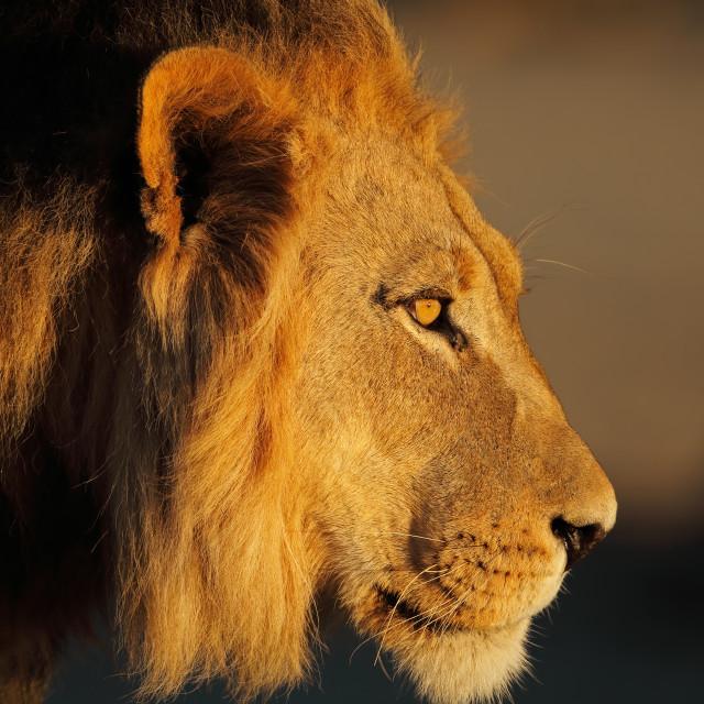"""African lion portrait"" stock image"