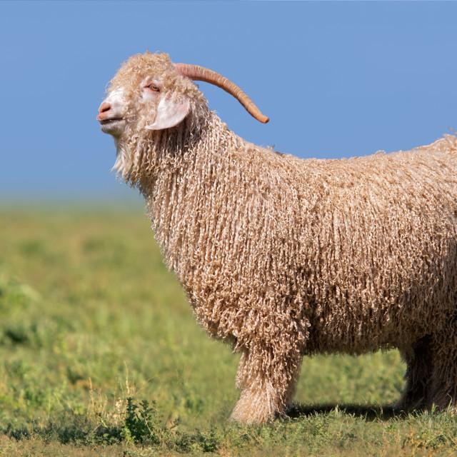 """Angora goat standing in green pasture"" stock image"