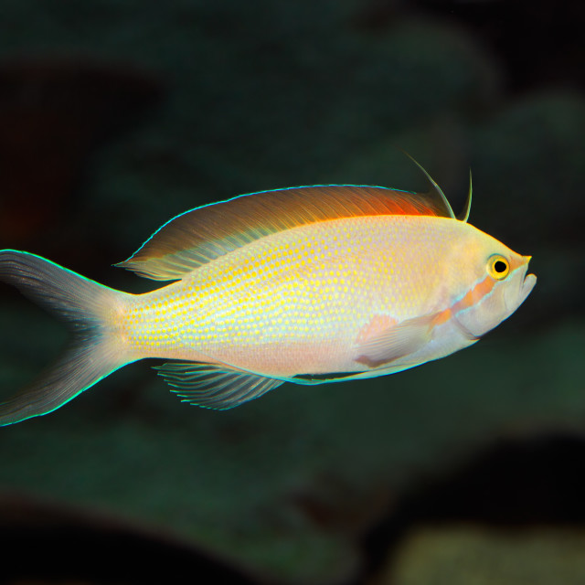 """""""Underwater view of a Anthias fish"""" stock image"""