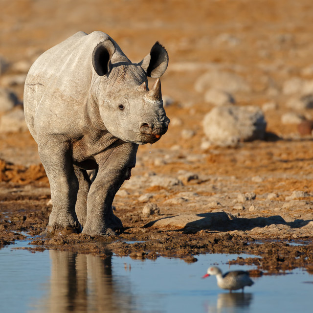 """Black rhinoceros at a waterhole"" stock image"