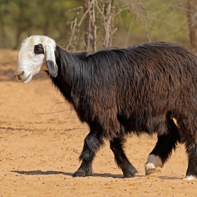 """Arabian Nadji sheep"" stock image"