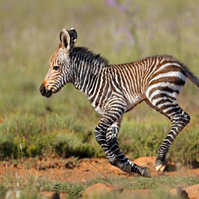 """Cape mountain zebra foal running"" stock image"