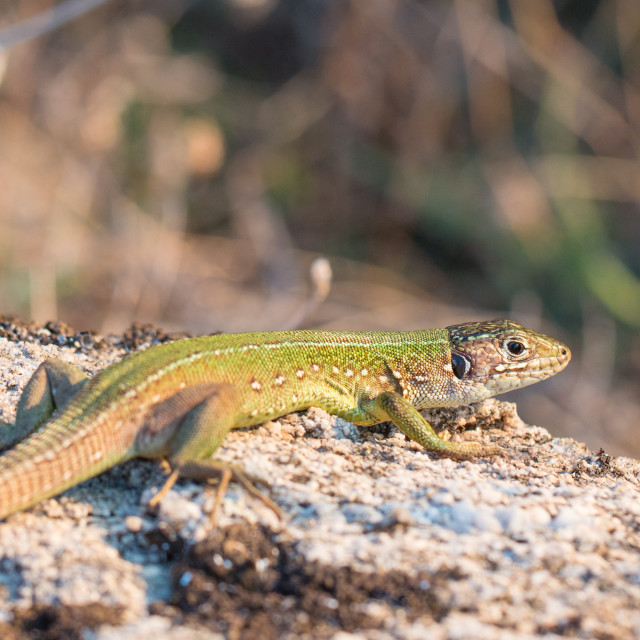 """European green lizard - female"" stock image"