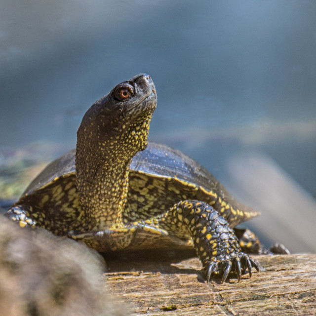 """Pond turtle South park Sofia"" stock image"