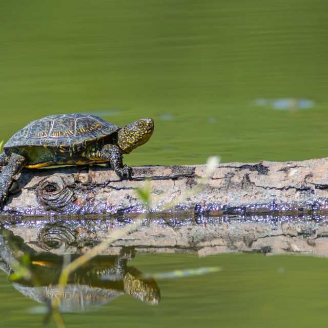 """Pond turtle - Emys orbicularis"" stock image"