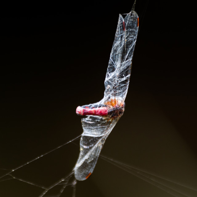 """""""Dragonfly caught in cobweb"""" stock image"""