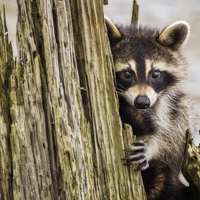 """""""Reluctant Raccoon"""" stock image"""