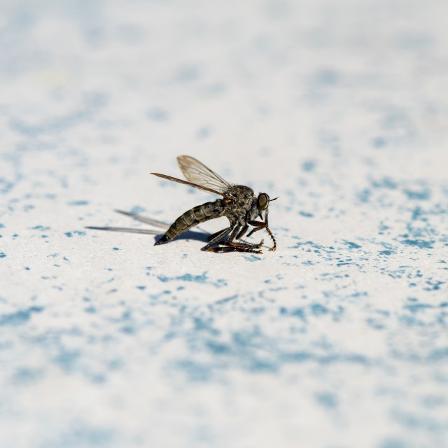 """Photo of a horsefly (Tabanidae)."" stock image"