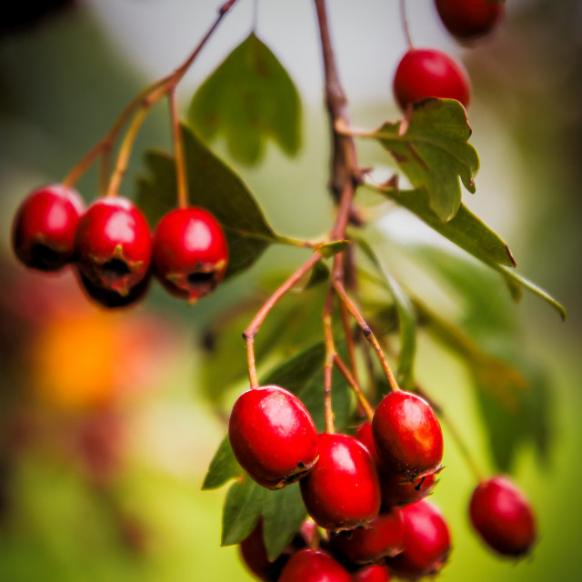 """Red Berries"" stock image"