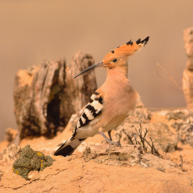 """Eurasian Hoopoe or Upupa epops, beautiful brown bird."" stock image"