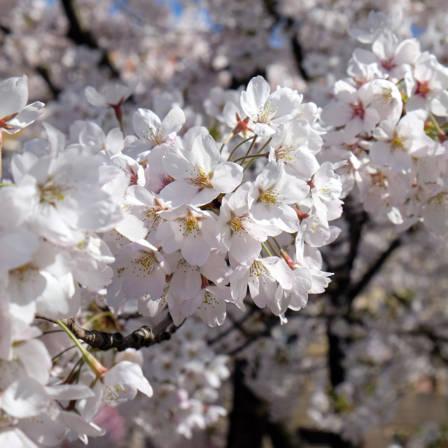 """""""Close up of fruit flowers in the earliest springtime"""" stock image"""