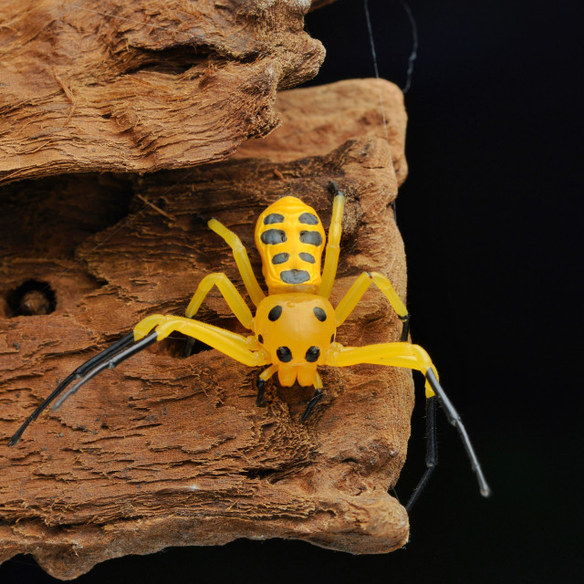 """Eight spotted crab spider-Platythomisus octomaculatus"" stock image"