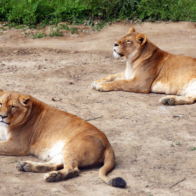"""""""Lioness lying on the ground"""" stock image"""