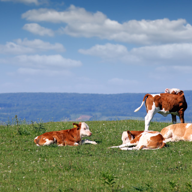 """four calves on field"" stock image"