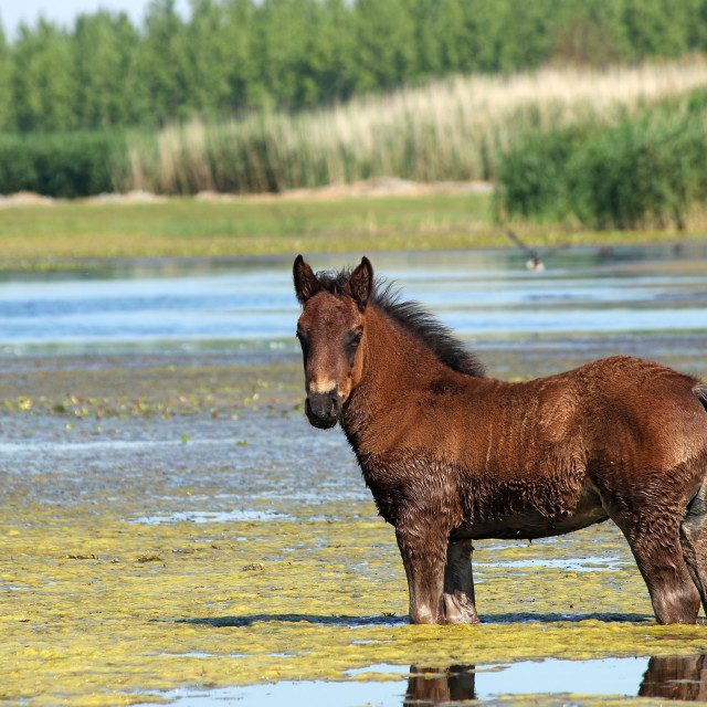 """brown foal standing in water"" stock image"