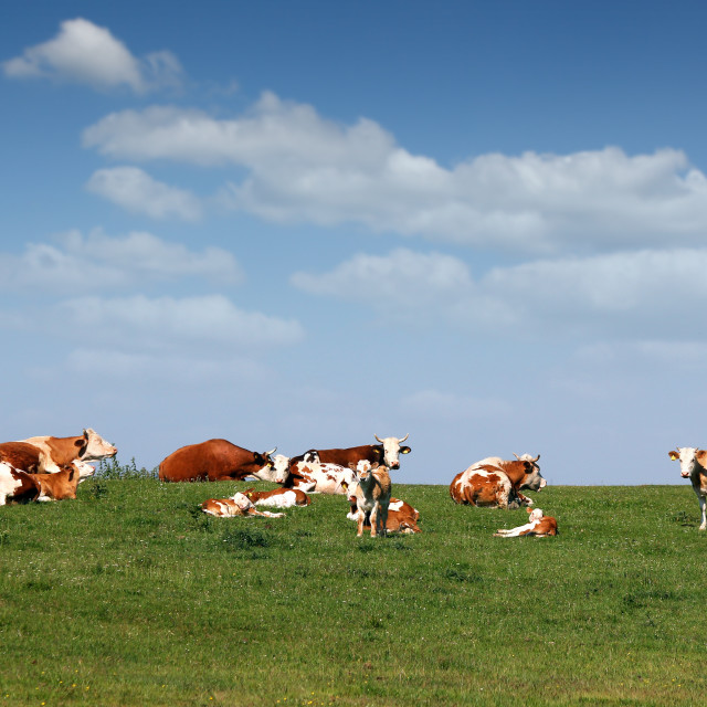 """cows and calf on field"" stock image"