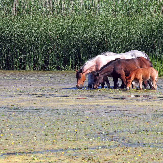"""herd of horses on river"" stock image"