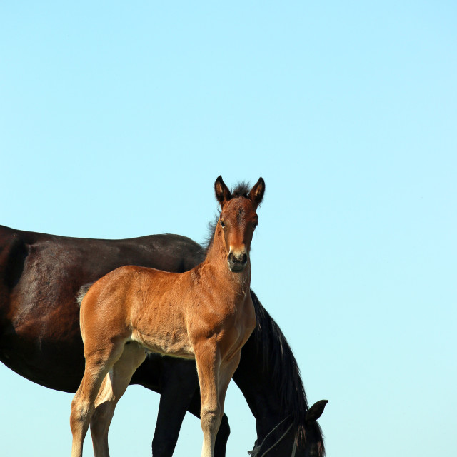 """brown foal and black mare horses"" stock image"