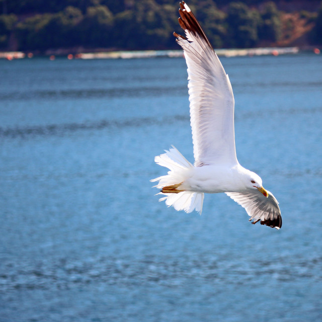 """Seagull flying over sea"" stock image"