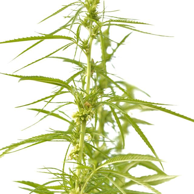 """""""hemp growing isolated"""" stock image"""