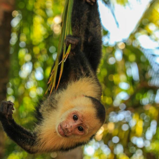 """""""White-throated Capuchin Monkey"""" stock image"""