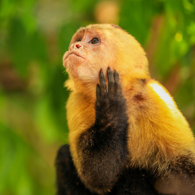 """White-throated Capuchin Monkey"" stock image"
