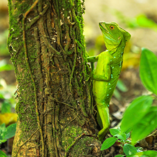 """Jesus Christ Lizard"" stock image"
