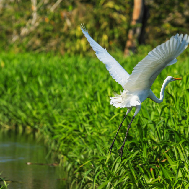 """Great Egret"" stock image"