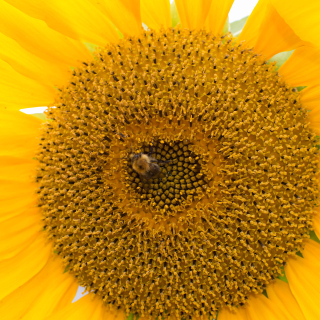 """""""Sunflower and friend"""" stock image"""