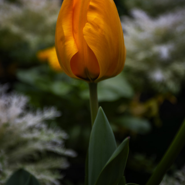 """lovely tulip"" stock image"