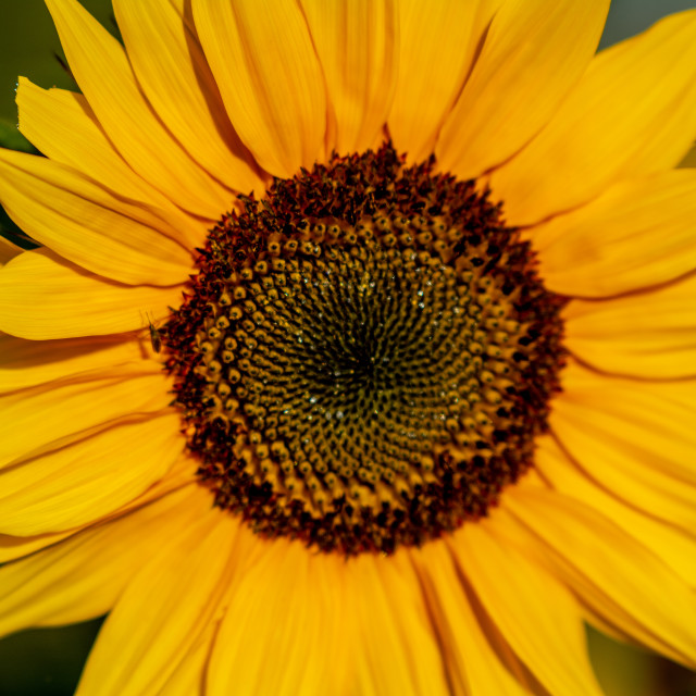 """Sunflower Close up"" stock image"