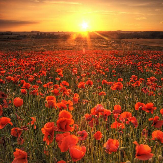 """""""Poppies -Dorset"""" stock image"""