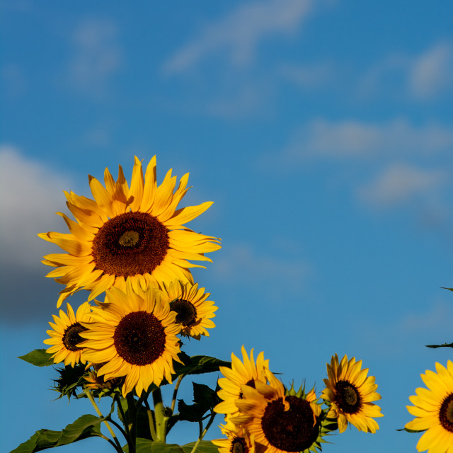 """Sunflowers Isolated Against Sky"" stock image"