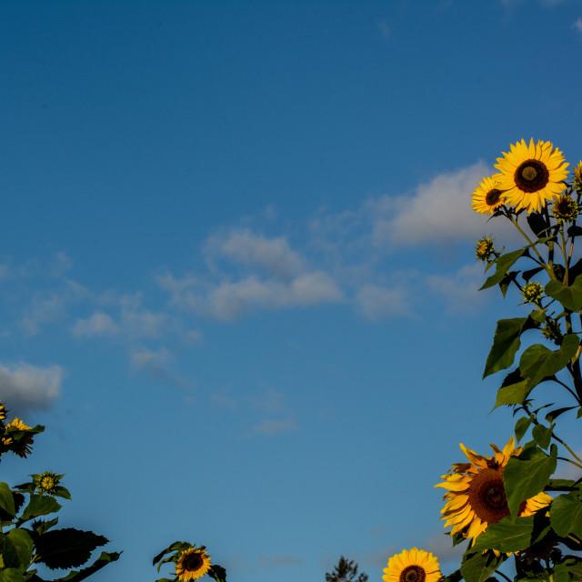 """Summer Sky Sunflowers"" stock image"