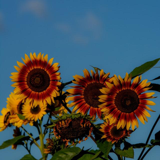 """""""Sunflower Morning"""" stock image"""