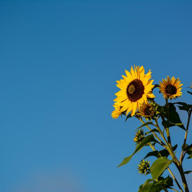 """""""Sunflower Summer"""" stock image"""