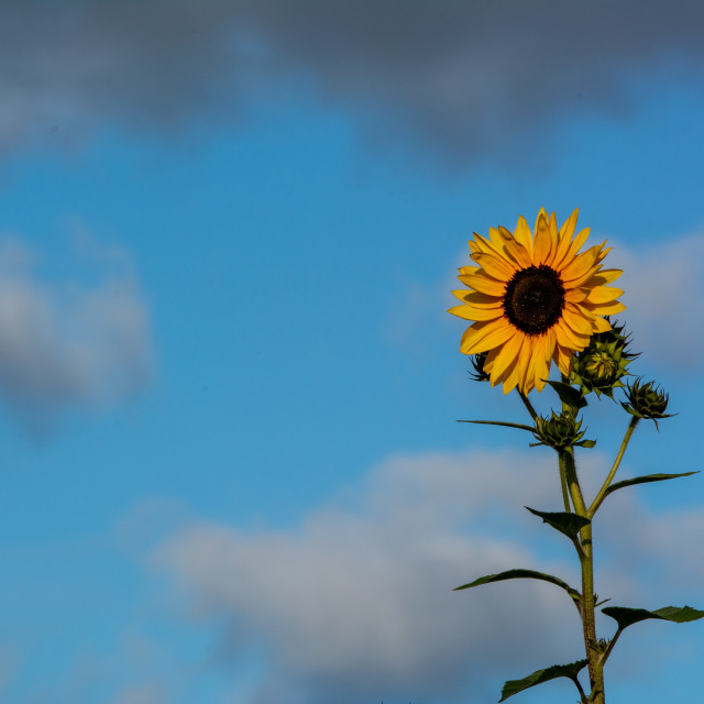 """Solitary Sunflower"" stock image"