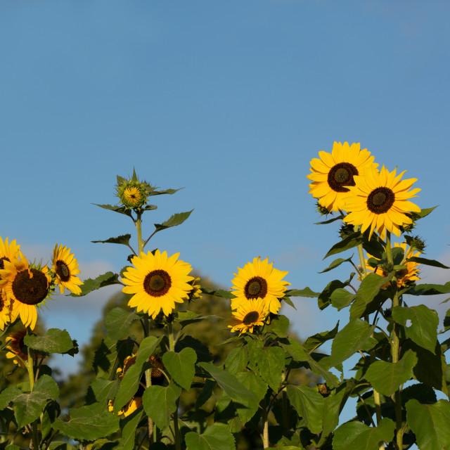 """Sunflower Serenity"" stock image"