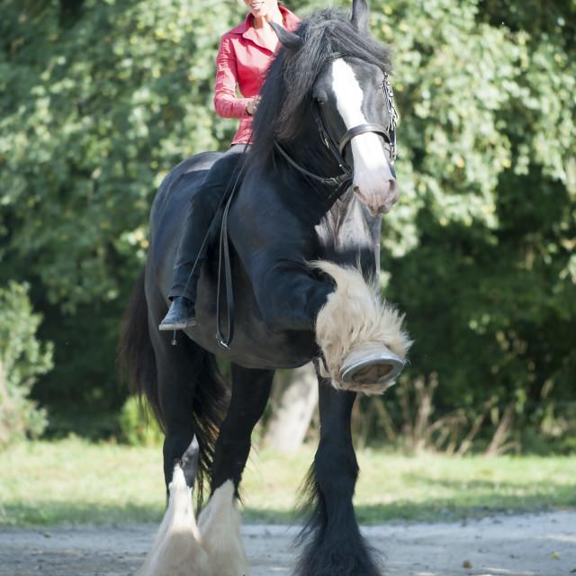 """""""La Michaudière, Shire Horse"""" stock image"""