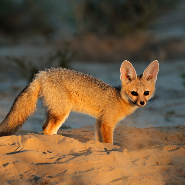 """Cape fox - Kalahari desert"" stock image"
