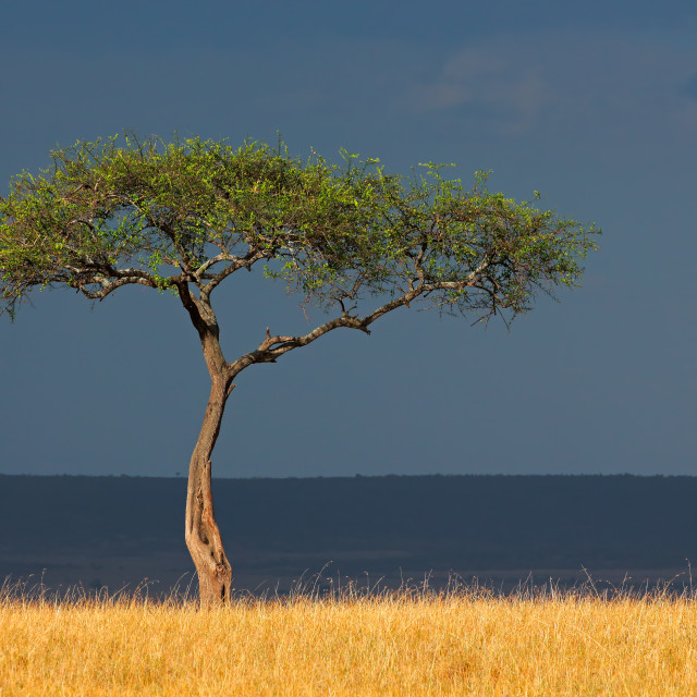 """African landscape - Masai Mara National Reserve"" stock image"